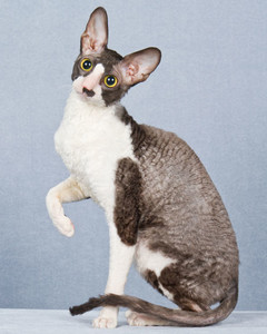 cat-breeds-cornish-rex-ma16_232.jpg