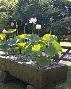 lotuses-aquatic-plants-mld107740.jpg