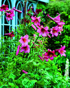 5118_031810_lilium_pink_perfection.jpg