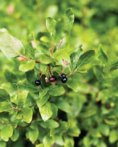 blueberries-foraging-0811mld106417.jpg