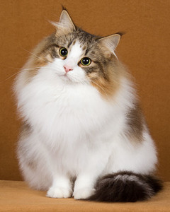cat-breeds-norwegian-forest-ma24_272.jpg