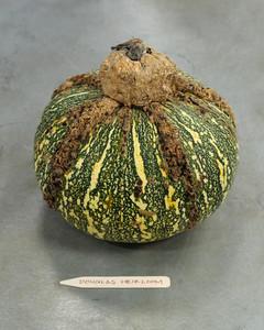 douglas-heirloom-pumpkin-mslb7021.jpg
