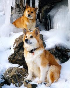 copyright_brynhildur_inga_icelandic_sheepdog.jpg