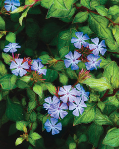 leadwort-flower-0811ms107525-getty_dor20059224.jpg