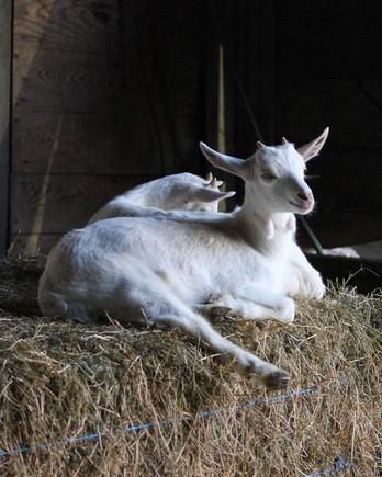 dairy-goats-barn-0720