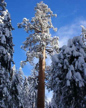 Getty-grant-grove-snowy
