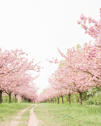 nature path through blossoming cherry trees