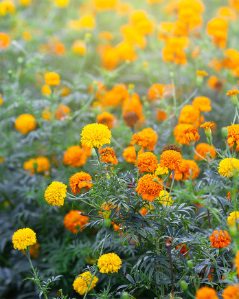 Marigolds in a Field