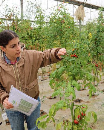 Leah Rosental checking tomato plant