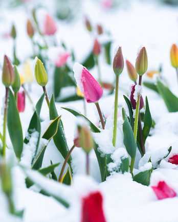 tulips covered in snow