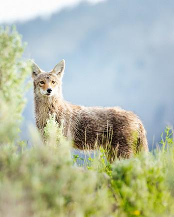 Wild Coyote in Nature