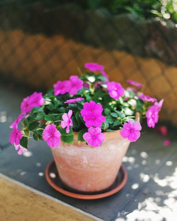 purple impatiens in a pot