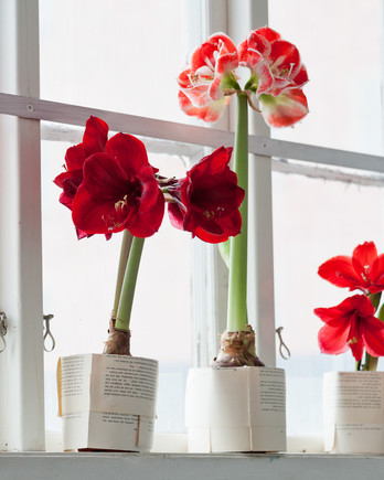amaryllis flowers on a window sill
