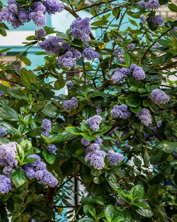 lilac bush garden