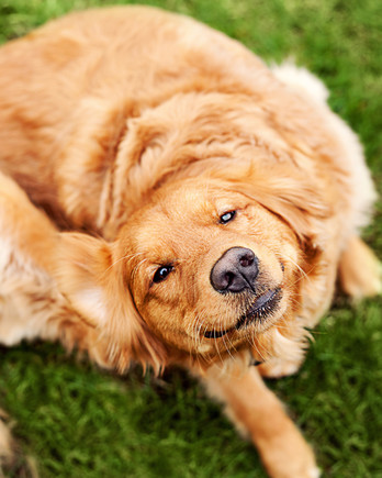yellow dog scratching ears getty