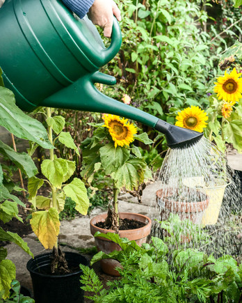 watering sunflowers in garden with green watering can