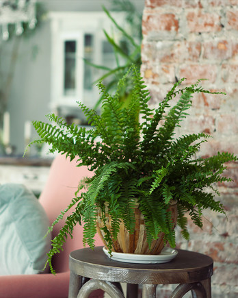house fern sitting on end table in living room