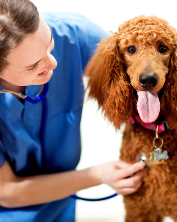 Veterinarian checking dog