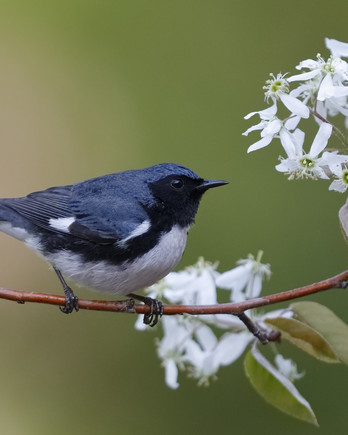 black-throated blue warbler perched on a branch