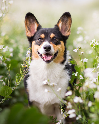 Corgi dog in flowers