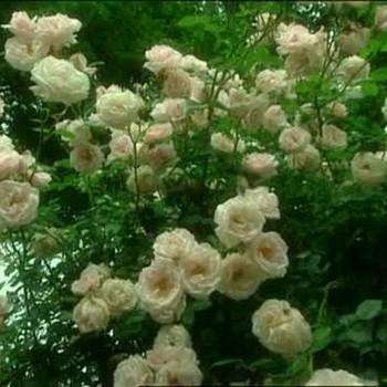 Growing a Rose Garden