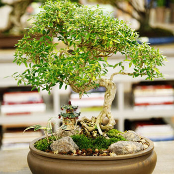 Bonsai Care Tips