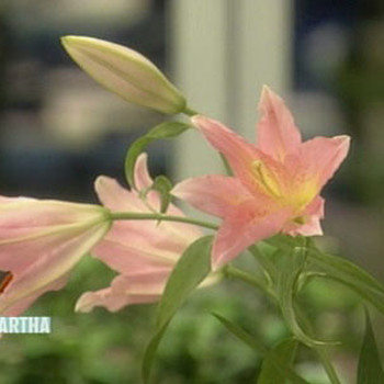 Lily Glossary