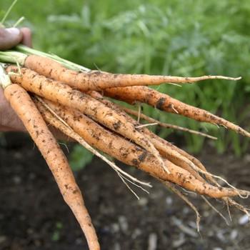 Thinning the Vegetable Garden