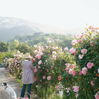 Scents of Time: The Rose Garden