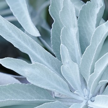 sage-fragrant-plant-0416.jpg (skyword:267047)