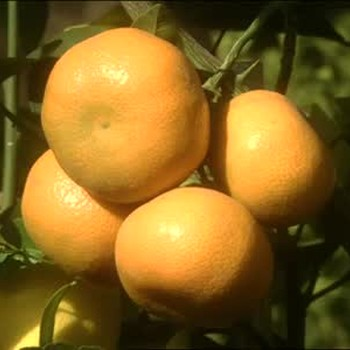 San Diego Citrus Nursery