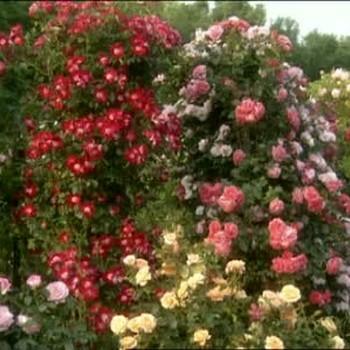 South Hampton Rose Garden