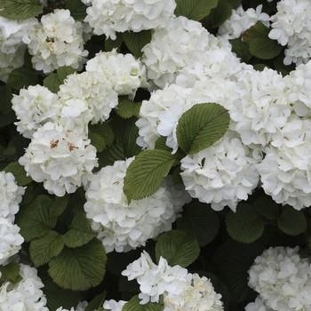 Viburnum-plicatum--Popcorn-.jpg (skyword:240079)