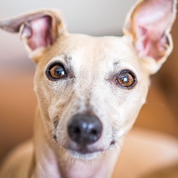 closeup of a whippet dog