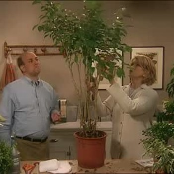 Ficus Plant Care and Feeding