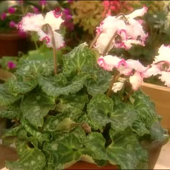 How to Keep Cyclamen Healthy