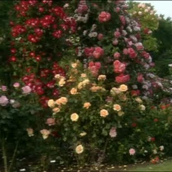 How To: Grow the Perfect Roses