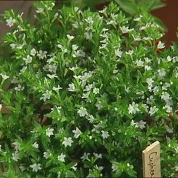 Growing Cuphea Plants for Summer