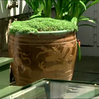 How to Plant Urns with Corsican Mint
