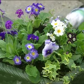 Planting Spring Flowers in Outdoor Pots