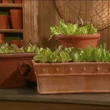 How to Plant Lettuce In A Terracotta Pot
