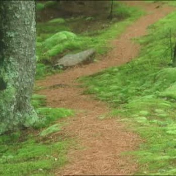 Woodland Paths from Cleaned Pine Needles