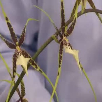 Information about Incredible Orchid Varieties