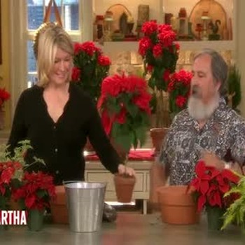 Poinsettia Displays: Topiaries and Centerpieces