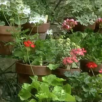 How to Keep Geranium Plants for Spring Replanting