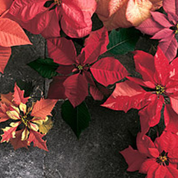 Good Things: 3 Beautiful Way to Decorate with Poinsettias this Year