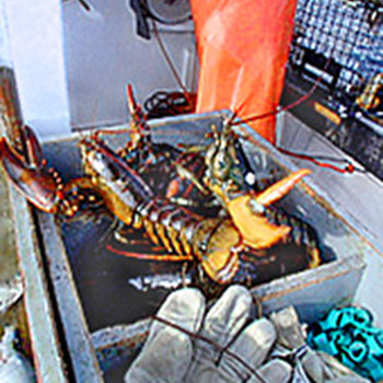 Maine Lobsters May Be Extinct by 2100 -- Blame Climate Change