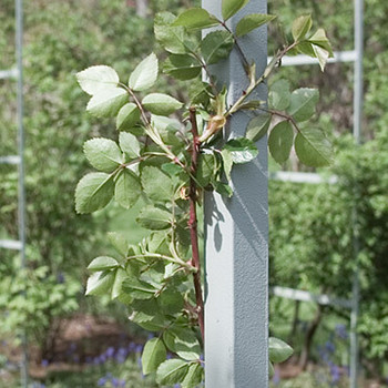 Essentials of Spring Pruning and Mulching Roses