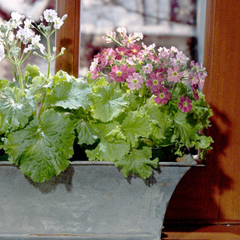 Fragrant Houseplants