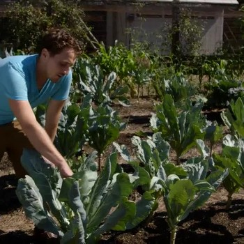 How to Care for Cauliflower in a Vegetable Garden